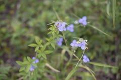 Abeja de la miel en la flor azul de Commelina Cyanea Imagen de archivo