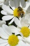 Abeja de la miel en la flor blanca Imagenes de archivo