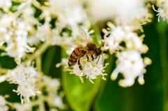 Abeja de la miel en la flor blanca Fotos de archivo libres de regalías