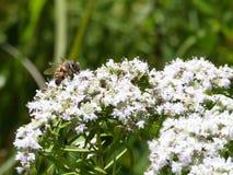 Abeja de la miel en la flor blanca Imagen de archivo libre de regalías