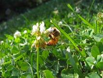 Abeja de la miel en la flor blanca Imágenes de archivo libres de regalías