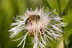 Abeja de la miel en la flor blanca de la centaurea, macro, foco selectivo Imagen de archivo libre de regalías