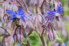 Abeja de la miel en la flor de la borraja Imágenes de archivo libres de regalías