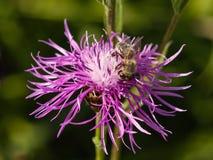 Abeja de la miel en la flor de la centaurea, macro, foco selectivo Imagen de archivo libre de regalías