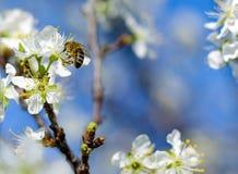 Abeja de la miel en la flor de la cereza Fotos de archivo libres de regalías