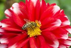 Abeja de la miel en la flor de la dalia Fotografía de archivo libre de regalías
