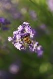Abeja de la miel en la flor de la lavanda Imagen de archivo