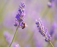 Abeja de la miel en la flor de la lavanda Imagen de archivo libre de regalías