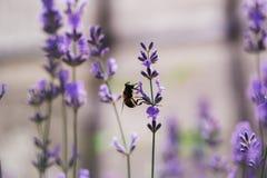 Abeja de la miel en la flor de la lavanda Fotos de archivo libres de regalías