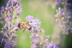 Abeja de la miel en la flor de la lavanda Imágenes de archivo libres de regalías