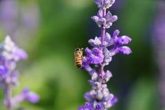 Abeja de la miel en la flor de la lavanda. La abeja de la miel está recogiendo el polen Foto de archivo libre de regalías