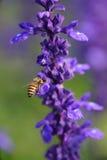 Abeja de la miel en la flor de la lavanda. La abeja de la miel está recogiendo el polen Foto de archivo