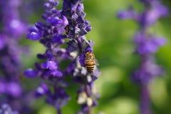 Abeja de la miel en la flor de la lavanda. La abeja de la miel está recogiendo el polen Fotos de archivo