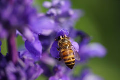 Abeja de la miel en la flor de la lavanda. La abeja de la miel está recogiendo el polen Fotos de archivo libres de regalías
