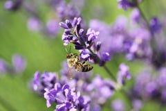 Abeja de la miel en la flor de la lavanda La abeja de la miel está recogiendo el polen Foto de archivo libre de regalías