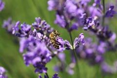 Abeja de la miel en la flor de la lavanda La abeja de la miel está recogiendo el polen Imagen de archivo