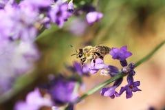 Abeja de la miel en la flor de la lavanda La abeja de la miel está recogiendo el polen Imágenes de archivo libres de regalías