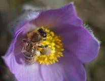 Abeja de la miel en la flor de la primavera Fotografía de archivo