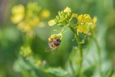 Abeja de la miel en la flor de la violación Foto de archivo libre de regalías