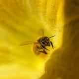 Abeja de la miel en la flor de oro amarilla de la calabaza Fotos de archivo