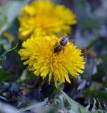 Abeja de la miel en la flor del diente de león Imagen de archivo libre de regalías