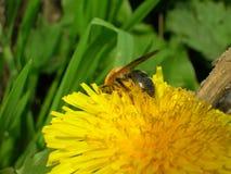 Abeja de la miel en la flor del diente de león Fotos de archivo
