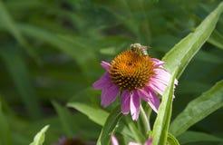 Abeja de la miel en la flor del echinacea Foto de archivo libre de regalías