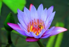 Abeja de la miel en la flor del lirio de agua Fotos de archivo libres de regalías