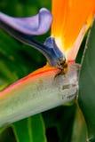 Abeja de la miel en la flor púrpura Fotos de archivo