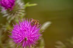 Abeja de la miel en la flor púrpura 2 del cardo de arrastramiento (arvense del cirsium) Imagen de archivo libre de regalías