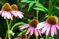 Abeja de la miel en la flor púrpura del cono en Utah América los E.E.U.U. Imagen de archivo