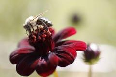 Abeja de la miel en la flor roja   Fotos de archivo