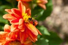Abeja de la miel en la flor roja Fotografía de archivo libre de regalías