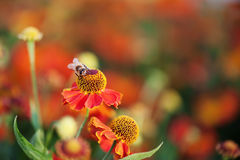 Abeja de la miel en la flor roja. Imagenes de archivo