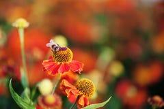 Abeja de la miel en la flor roja Imagenes de archivo