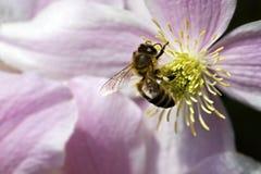 Abeja de la miel en la flor rosada Fotos de archivo libres de regalías