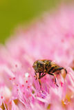 Abeja de la miel en la flor rosada Imagenes de archivo