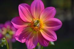 Abeja de la miel en la flor rosada Foto de archivo libre de regalías
