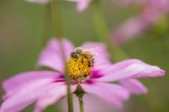 Abeja de la miel en la flor rosada Foto de archivo