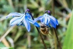 Abeja de la miel en la flor siberiana de la esquila Foto de archivo