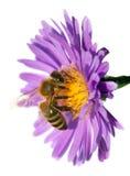 Abeja de la miel en la flor violeta aislada en el fondo blanco Fotografía de archivo libre de regalías