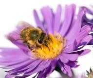 Abeja de la miel en la flor violeta aislada en el fondo blanco Fotografía de archivo