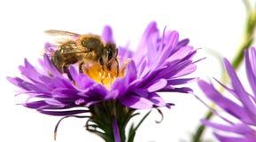 Abeja de la miel en la flor violeta aislada en el fondo blanco Imagenes de archivo