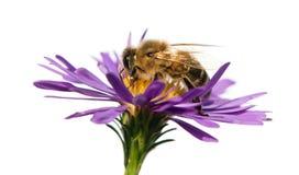 Abeja de la miel en la flor violeta aislada en el fondo blanco Foto de archivo