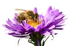 Abeja de la miel en la flor violeta aislada en el fondo blanco Imágenes de archivo libres de regalías