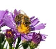 Abeja de la miel en la flor violeta aislada en el fondo blanco Imagen de archivo