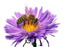 Abeja de la miel en la flor violeta aislada en el fondo blanco Fotos de archivo libres de regalías