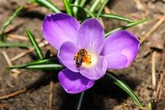 Abeja de la miel en la flor violeta del azafrán Foto de archivo libre de regalías