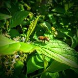 Abeja de la miel en la hoja de la uva de Oregon en Utah América los E.E.U.U. Foto de archivo