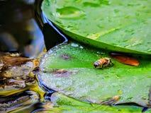 Abeja de la miel en la hoja del cojín de lirio en Utah América los E.E.U.U. Fotografía de archivo libre de regalías